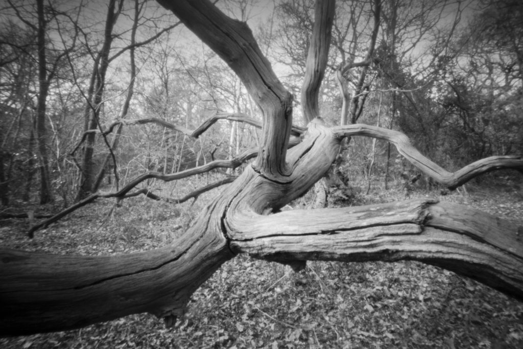 Fallen tree taken with Ondu 6x9 Pinhole Camera and Ilford Photo FP4+